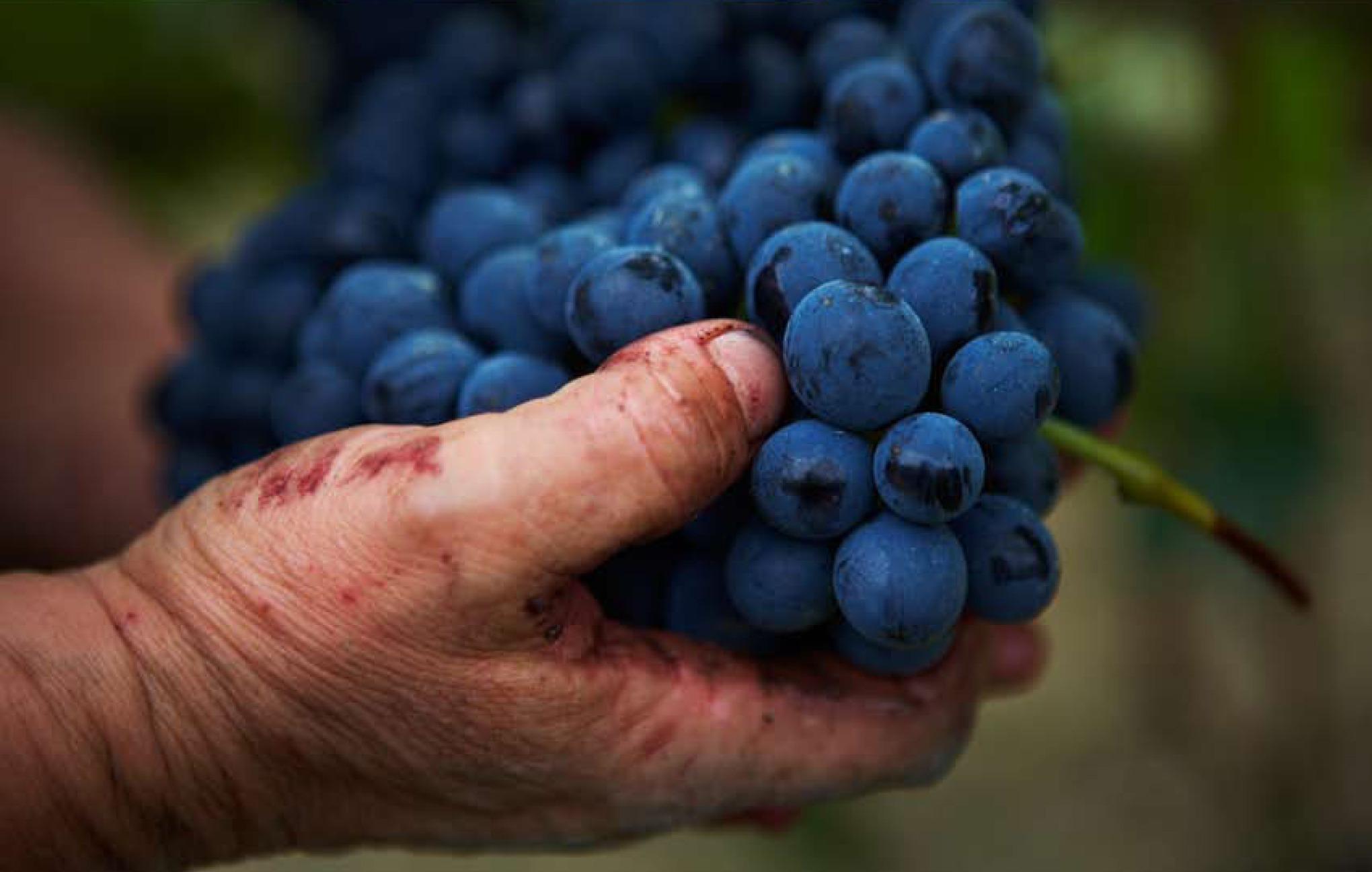 pigna d'uva