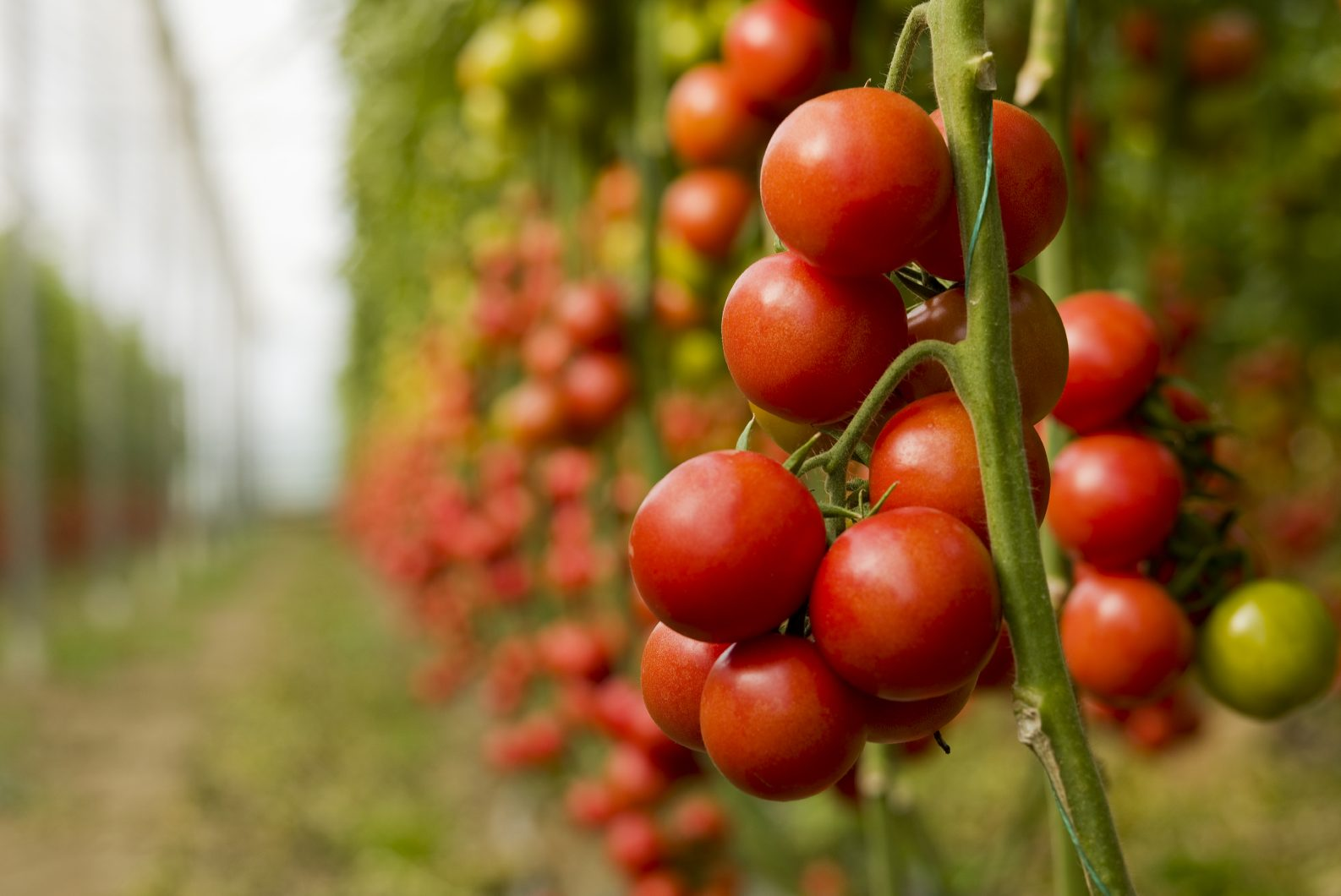 pomodori nell orto