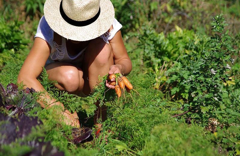 donna raccoglie carote nell orto