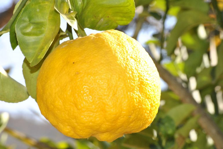 limone massa lubrense